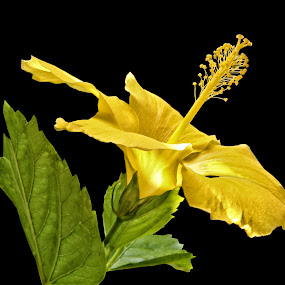 Yellow Hibiscus Morning by Joseph Vittek - Nature Up Close Flowers - 2011-2013 ( plant, pistil, hibiscus, green, stamen, yellow, leaf, morning, black, flower, petal,  )