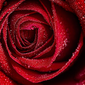 Like Red on a Rose by Tom Whitney - Flowers Single Flower ( macro, red, environment, single, nature, flower )