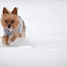 Gatsby by Josh Balduf - Animals - Dogs Portraits ( new, park, gatsby, snow, terrier, york, new york, dog, run )