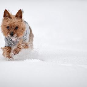 Gatsby by Josh Balduf - Animals - Dogs Portraits ( new, park, gatsby, snow, terrier, york, new york, dog, run )