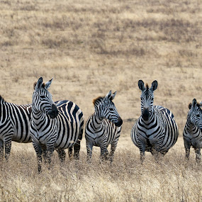 Zebras by VAM Photography - Animals Other Mammals ( mammals, animals, ngorongoro, tanzania, zebras )