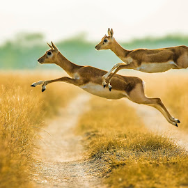 Black buck Jumps  by Partha Kundu - Animals Other Mammals ( #blackbuckruns, #blackbuckjumps, #talchapar, #blackbuck, #wildlife )