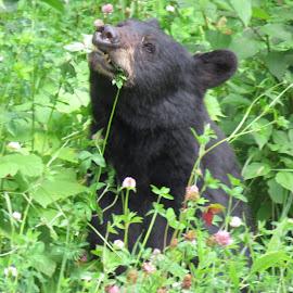 Bear in the wild flowers  by Chris Bertenshaw - Animals Other Mammals ( bear, wild, nature, wild flowers )
