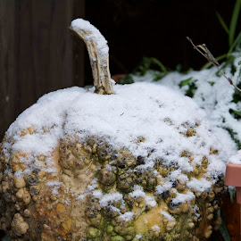by Victoria Eversole - Nature Up Close Gardens & Produce ( snowfall, winter scene, pumpkin, garden )