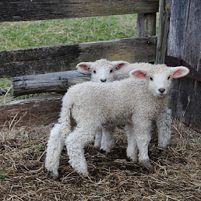 Me and MeMe by Gwen Paton - Animals Other Mammals ( lambs, sheep, baby animals, wool, animal,  )
