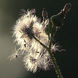 Thistle at Sunset by Anita Frazer - Nature Up Close Other plants ( plant, backlit, thistle )