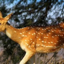 Deer by Soham Chakraborty - Animals Other Mammals