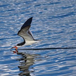 Skimming Dinner by Brad Warden - Animals Birds ( water, bird, reflection, black skimmer )