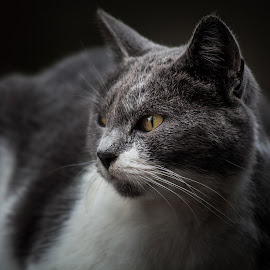 Portrait of a grey cat by Plamen Mirchev - Animals - Cats Portraits ( cat, portrait, close, grey,  )