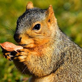 My peanut by Marvin White - Animals Other Mammals ( peanut, park, mammal, squirrel )