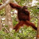 Orangutan (young adult)