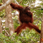 Orangutan (young adult)