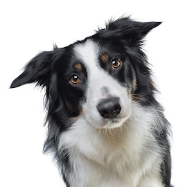 Apollo on white. by Börje Ensgård - Animals - Dogs Portraits ( border collie, tricolor, white background, cute, dog )