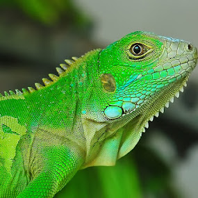 I am not HULK by Jeffry Sabara - Animals Reptiles