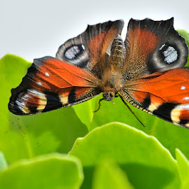 Aglais io by Ricardo Costa - Animals Insects & Spiders ( butterflies, lepidoptera, portugal,  )