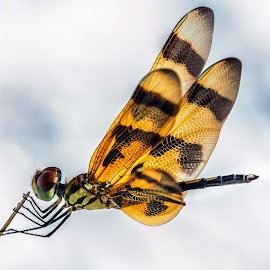 Tiger dragonfly by Yaroslav Sobko - Animals Insects & Spiders ( orange, tiger, wings, insect, dragonfly )