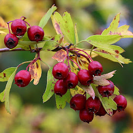 Autumn Hawthorn by Chrissie Barrow - Nature Up Close Other Natural Objects ( red, nature, autumn, green, hawthorn, yellow, leaves, closeup, berries )
