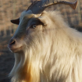 Golden Goat by Susan Fries - Animals Other Mammals ( closeup images, goat, farm animal, mammal, golden, animal )