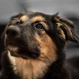 Looking by Darren Sutherland - Animals - Dogs Portraits