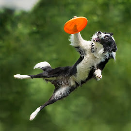 Using Paw by Claudio Piccoli - Animals - Dogs Playing ( border collie, jumping, action, dog in action, dog, frisbee, disc dog,  )