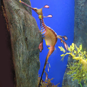 a SEA HORSE... by Praveen Chand - Animals Sea Creatures