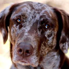Adoration by Claire Clark - Animals - Dogs Portraits ( catahoula, brown dog, beautiful dog, dog portrait, dog photography )