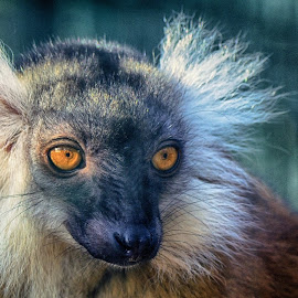 King of Lemuria by Jiri Cetkovsky - Animals Other ( zoo, hodonin. zoo, lemur, monkey )