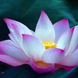 lotus by Lai Jung - Flowers Single Flower ( lotus )