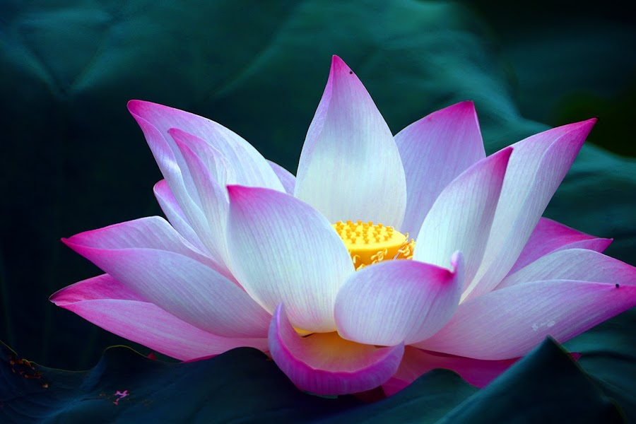 lotus by Lai Jung - Flowers Single Flower ( lotus )