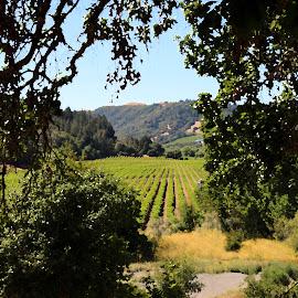 bella vineyards by Leslie Hunziker - Landscapes Prairies, Meadows & Fields ( vineyard, grapes, trees, landscape )