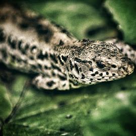 Reptile by Zoly Szilveszter - Animals Reptiles ( wild, green, wildlife, reptile, animal )
