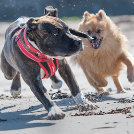 lets go by Michael  M Sweeney - Animals - Dogs Running ( dogs, staffordshire bull terrier, michael m sweeney, running, pomeranian )