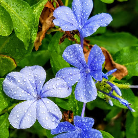 last few blue plumbago in front  by Jeffrey Lee - Flowers Flower Gardens ( last few blue plumbago in front )