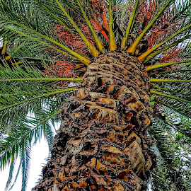 Up the Palm by Barbara Brock - Nature Up Close Trees & Bushes ( palm tree, large tree, palm leaves, looking up the palm tree, palm tree trunk )