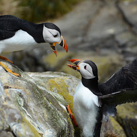 Huffin and Puffin by Lesley Hudspith - Animals Birds ( black and white, wings, fighting, birds, puffin,  )