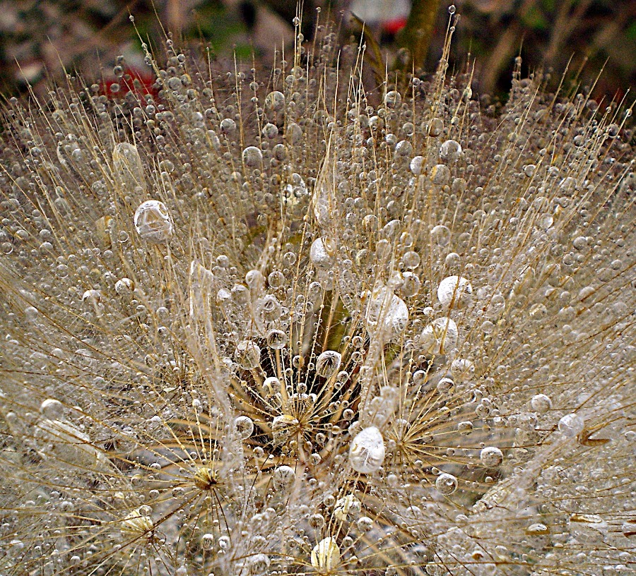 Don't Forget Me by Marija Jilek - Nature Up Close Other plants ( nature, goat-beard, silver, white, drops, plants, gold, sun )