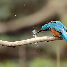 Kingfisher by Matteo Chinellato - Animals Birds ( bird, kingfisher, uccello )