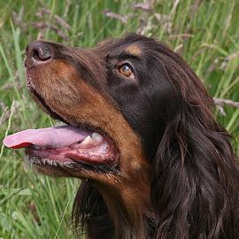 Coco's back! by Chrissie Barrow - Animals - Dogs Portraits ( tongue, ear, female, cocker spaniel, pet, fur, brown, pink, dog, nose, tan, portrait, eye,  )