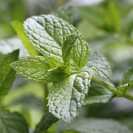 Mint by Dipali S - Nature Up Close Gardens & Produce ( raw, salad, condiment, oriental, bright, spice, plants, farmland, leaf, botanical, spring, chinese, crop, asian, farm, nature, fresh, foliage, cultivation, closeup, lush, bed, green, agriculture, flavor, mint, peppermint, morning, field, organic, spicery, herb, food, background, grow, outdoor, healthy, gardening, herbal, vegetable, garden )