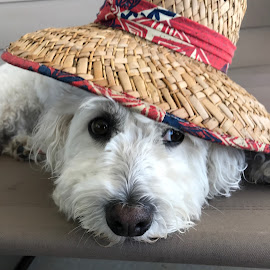 Lazy Dog Day by Joyce Thomas - Animals - Dogs Portraits ( dog bichon )