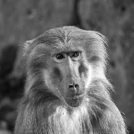 Papio hamadryas bw by Waldemar Dorhoi - Black & White Animals ( monkey )