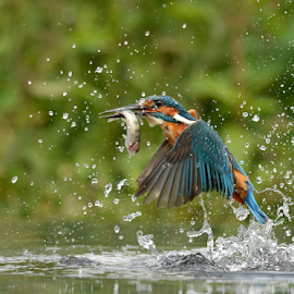 Kingfisher  by Keith Bannister - Animals Birds ( alcedo atthis, nature, kingfisher, wildlife, birds )