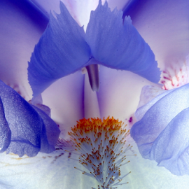 IRIS by Michael Schwartz - Flowers Single Flower ( macro, iris, beauty, close-uo, flower,  )