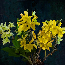 Dendrobium Nobile by Joseph Vittek - Flowers Flower Arangements