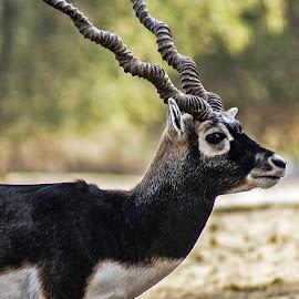 black buck by Mohsin Raza - Animals Other