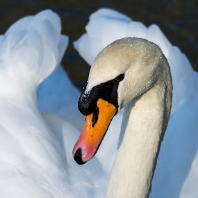 Swan with droplets by Marcia Gain - Animals Birds