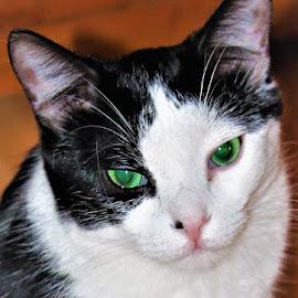 Domi by Linda    L Tatler - Animals - Cats Portraits (  )