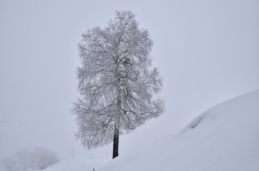 Zima bela by Bojan Kolman - Nature Up Close Trees & Bushes (  )