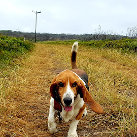 Basset on a stroll by Hannetjie de Waal - Animals - Dogs Playing ( #nature, #basset hound )