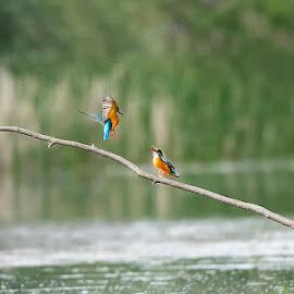 kingfisher by Stanley P. - Animals Birds